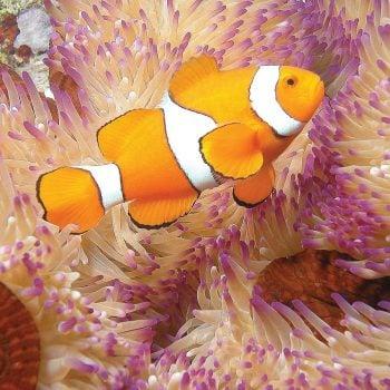 Nemo clownfish